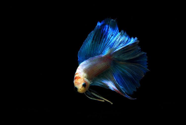 Beautiful Nature Swimming Thai Animals Aquarium Fish Black Scenery Blue Fighting Fish Natural Life Water