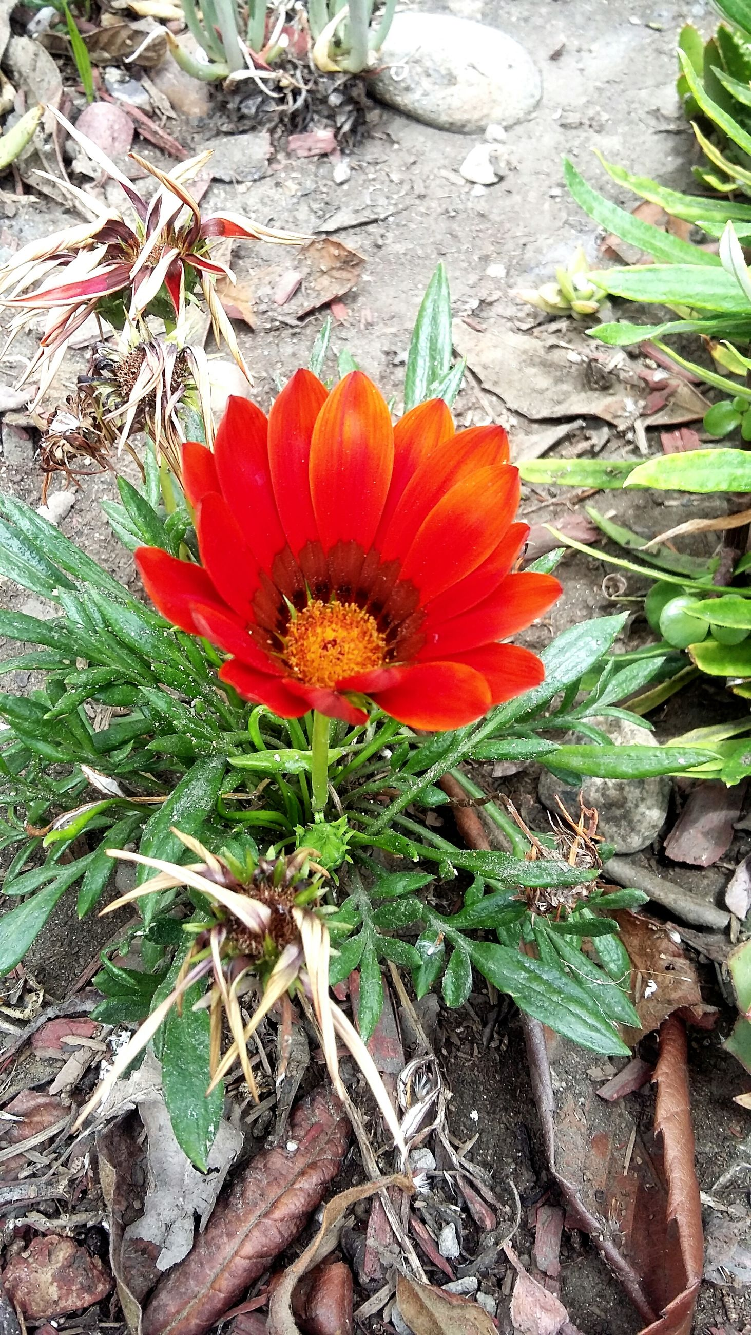 flower, growth, fragility, freshness, red, petal, flower head, plant, leaf, nature, beauty in nature, high angle view, close-up, orange color, blooming, single flower, day, outdoors, botany, in bloom