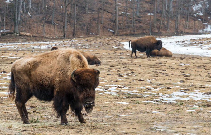 American Bison On Field During Winter