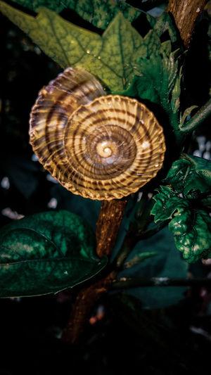 Landsnail Spiral Close-up Snail Mollusk Shell Animal Shell