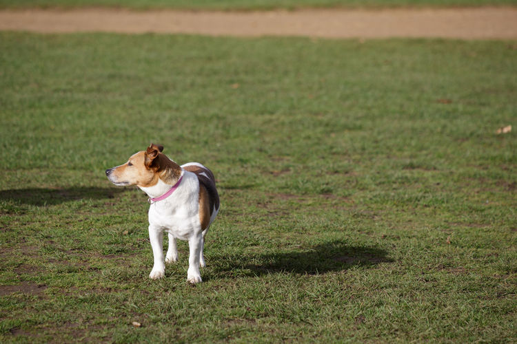 Dog in Bushy Park One Animal Animal Themes Domestic Domestic Animals Mammal Animal Pets Grass Dog Canine Plant Day No People Vertebrate Green Color Nature Land Field Jack Russell Terrier