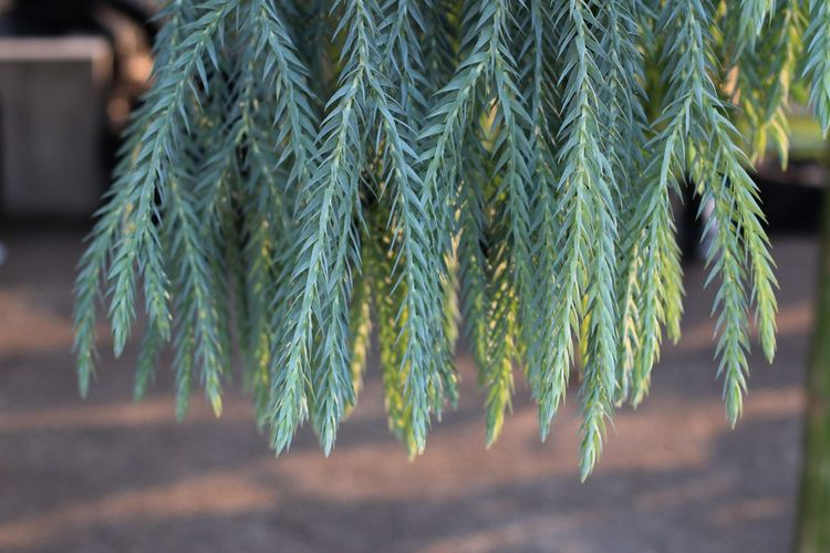 beautiful and wired green leaves Growth Close-up Plant Focus On Foreground Green Color Day Leaf No People Nature Beauty In Nature Plant Part Outdoors Selective Focus Tree Freshness Sunlight Pattern Natural Pattern Tranquility Land Coniferous Tree