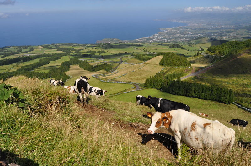 Cows On Green Hills Against Sea