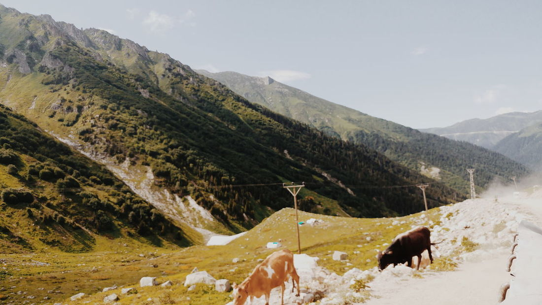 Animal Mountain Nature Cow No People Day Camping Türkiye Travel Eyem Gallery Green Goodtime Forest Green Nature VSCO Good Morning Animals