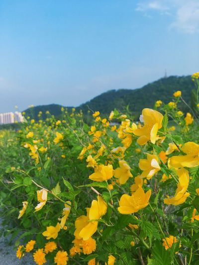 태화강 유채꽃 Teahwa River