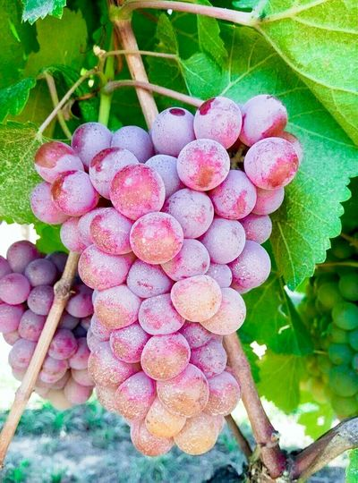 Grapes Stock