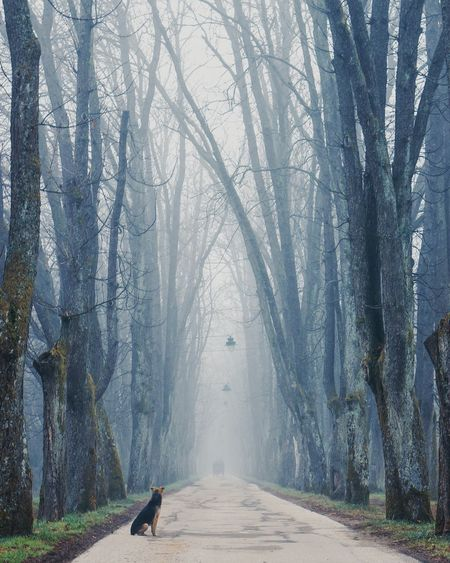 One Animal Outdoors The Way Forward Pets Nature Tree Dog Beauty In Nature Foggy Morning Avenue Of Trees Trees Melancholy Solitude Silence