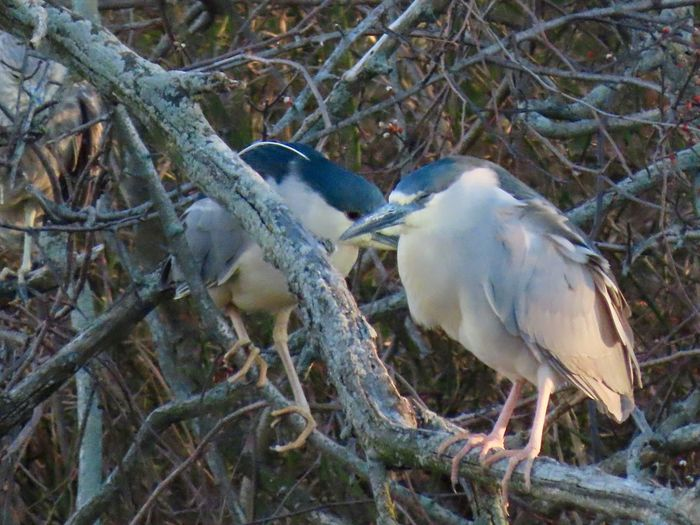 Two black-capped night herons up close perched atop a labyrinth of bare tree branches Birds of EyeEm beauty in nature animal themes outdoors Animal Wildlife Tree No People
