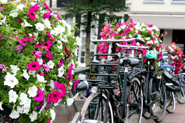 Close-up of pink flowers on bicycle