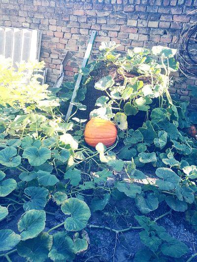 Pumpkin Outdoors Nature Plant