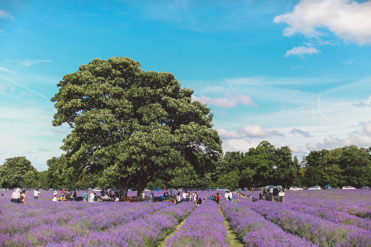 Beauty In Nature Cloud Cloud - Sky Day Enjoyment Grass Green Color Group Of People Growth Landscape Large Group Of People Lavanda Lavander Lavander Flowers Lavanderfields Leisure Activity Lifestyles Mixed Age Range Nature Outdoors Relaxation Sky Summer Tree Vacations