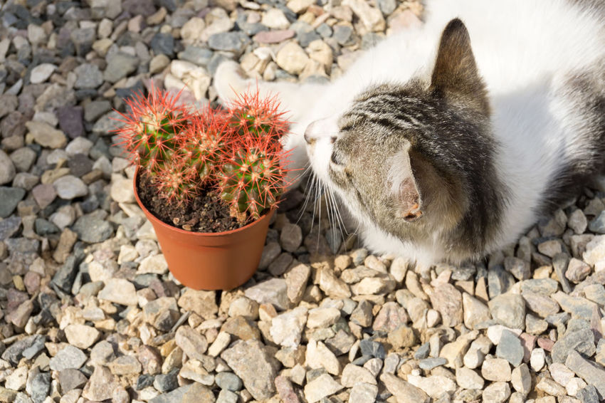 Cacti Cactus Red Succulents SucculentsLover Animal Animal Themes Cactuslover Cat Domestic Domestic Animals Domestic Cat Feline Grusonii Mammal Nature No People One Animal Pets Rainbow Spiked Succulent Plant Sunny Day Vertebrate Whisker
