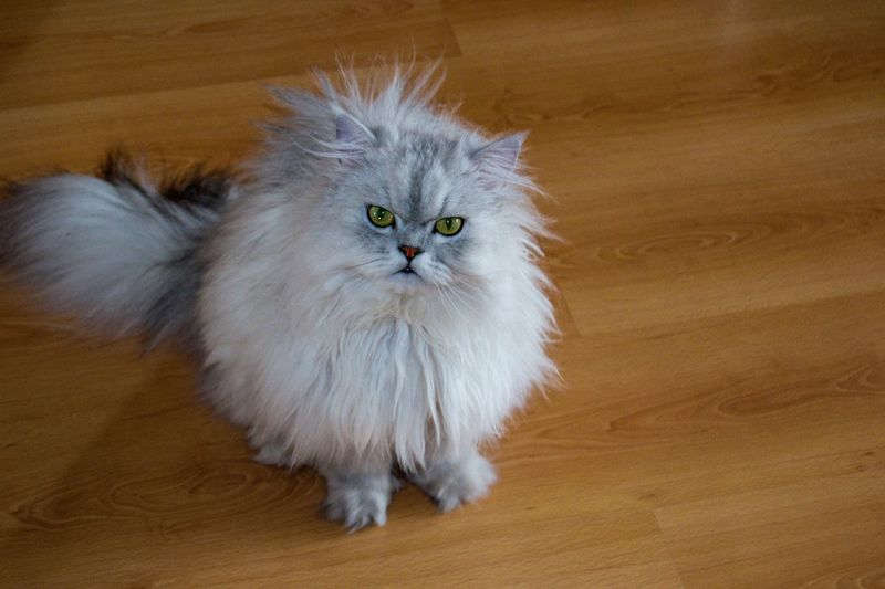 angry cat Cat