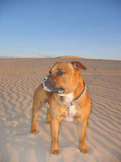 Ok, we made it to the top of the dune, now what? Animal Themes Clear Sky Day Desert Dog Domestic Animals Dune Full Length Mammal Nature No People One Animal Outdoors Pets Ripple Rippled Sand Sand Sand Dune Sky Staffordshire Bull Terrier Staffy Standing
