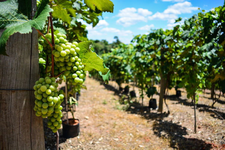 ezefer Plant Growth Fruit Food And Drink Healthy Eating Vineyard Nature Food Agriculture Green Color Freshness Grape Sunlight Plant Part Leaf Day Focus On Foreground Field Tree Landscape Farm No People Outdoors Winemaking Plantation Jundiaí Vinery