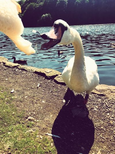 Swan eating bread Swan Swan Water Nature Real People Leisure Activity Swimming Day Animals In The Wild Outdoors