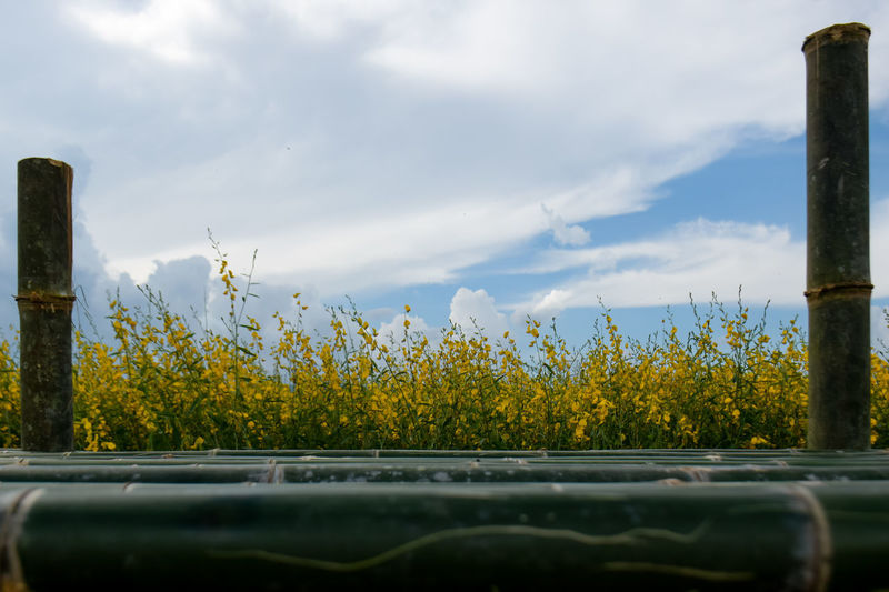 Yellow flowers growing on land against sky