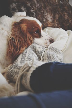 TK Maxx Socksie Animal Themes Pets Domestic Animals Mammal One Animal Dog Indoors  No People Close-up Day Spaniel Workingcocker Cockerspaniel Resting Peace And Quiet Relaxing Chilling Socks Sock