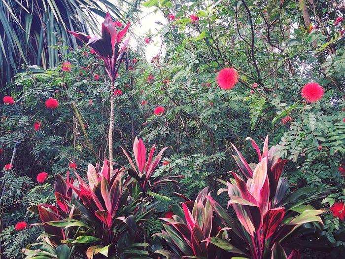 Dracaena Tropical Tropical Plants Tropical Flowers Tropical Forest Tropical Garden Plants And Flowers Plants Yaeyama OKINAWA, JAPAN Okinawa Ishigakijima Ishigaki Island Ishigaki  Redflowers RedLeaves Green Leaves