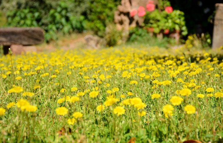 Springtime in the Catalan Countryside Inspiration Beautiful Beautiful Nature Nature Spring Springtime Yellow Plant Flower Flowering Plant Growth Beauty In Nature Field Land Freshness Landscape Day Selective Focus Rural Scene Fragility Vulnerability  Agriculture Crop  Outdoors Flowerbed