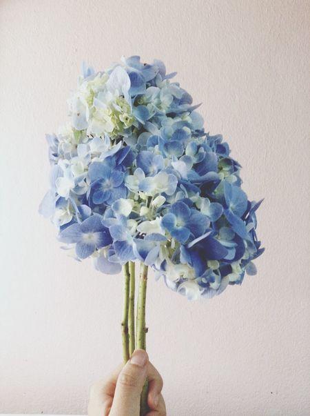 Flower Hydrengea Blue Flower Head Blooming Flower Blooming Spring Spring Flowers Flowers,Plants & Garden Beautiful Close Up Freshness Fresh Decor