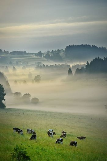 Herd Of Cows Grazing On Landscape Against Sky
