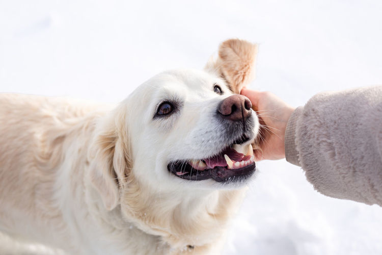 Close-up portrait of dog with hand on snow