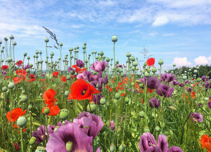 Beauty In Nature Blooming Close-up Cloud - Sky Day Field Flower Flower Head Fragility Freshness Growth Lilac Flower Nature No People Outdoors Plant Poppy Poppy Seed Oil Sky Violet Flowers
