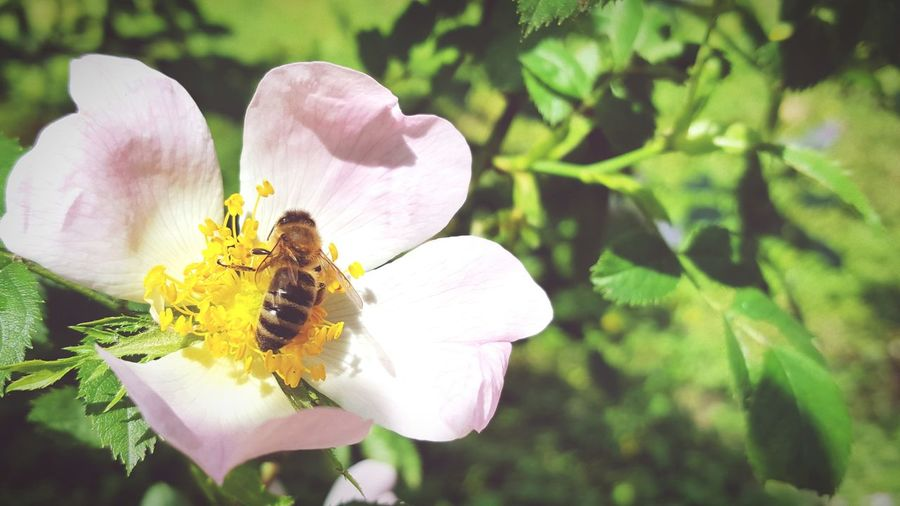 Bee Bee 🐝 Flower Close Up Close-up White Flower Nature Nature_collection Animals Insect Fasanerie Wiesbaden Fasanerie Wiesbaden Germany