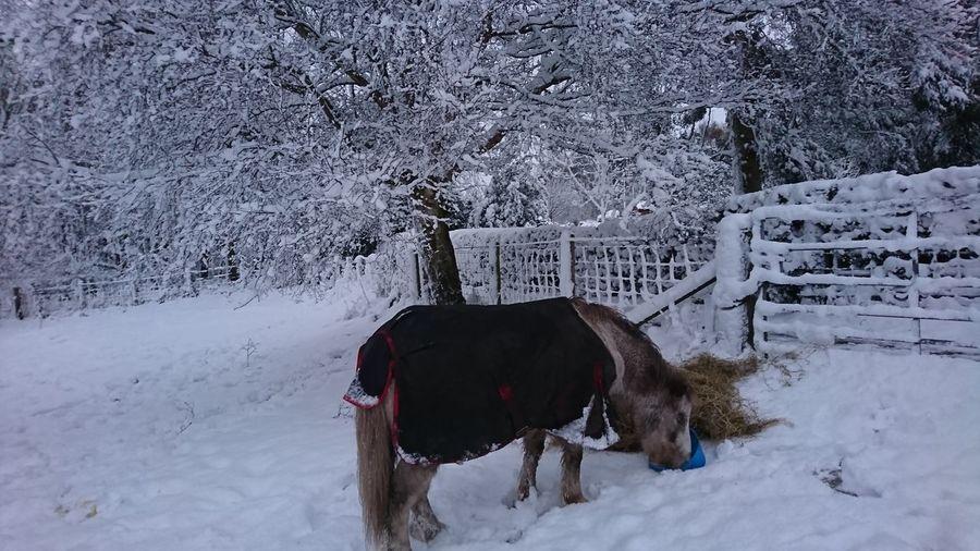 Snow Domestic