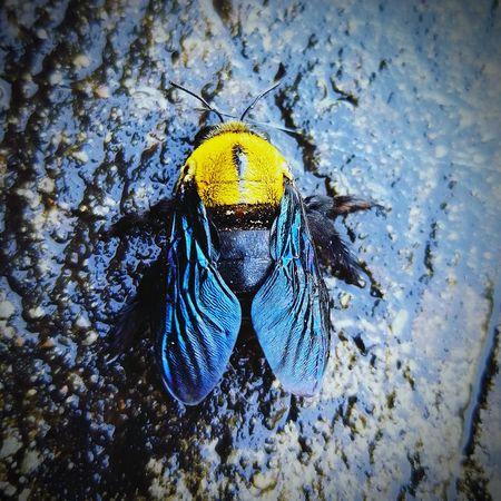 แมลงภู่ Insects  Insect Insect Photography Insects Collection Thailand แมลง แมลงภู่ Bumble Bee Bee Animals In The Wild One Animal Animal Themes Yellow Animal Wildlife No People Nature Outdoors Close-up Blue Water Beauty In Nature Day