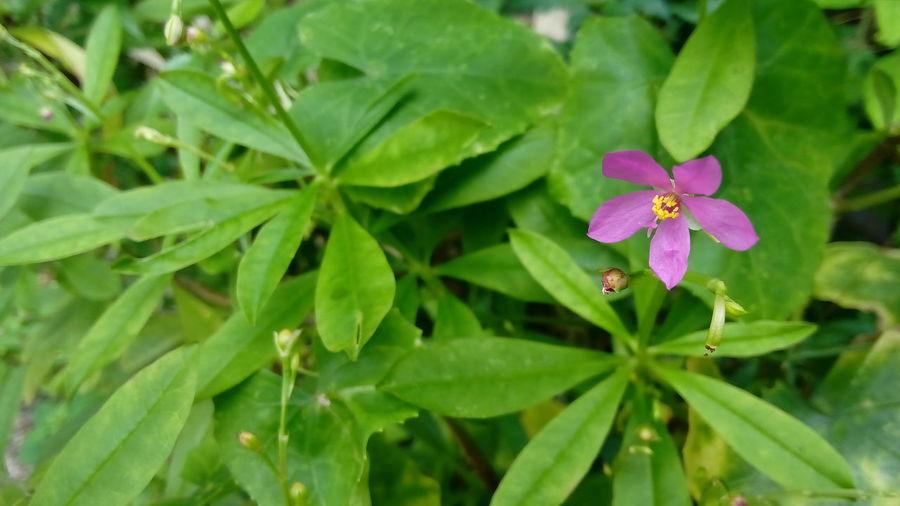 Herb Talinum