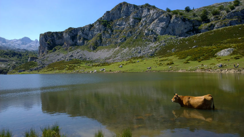 View of a cow at Lake Ercina in Lakes of Covadonga, Asturias - Spain Animal Asturias Covadonga Cow Cows Ercina Green Lago Ercina Lagos De Covadonga Lake Lakes  Landscape Mountain Nature Outdoors Park Peak Picos De Europa Picturesque Reflection Rural Scenic SPAIN Travel Water
