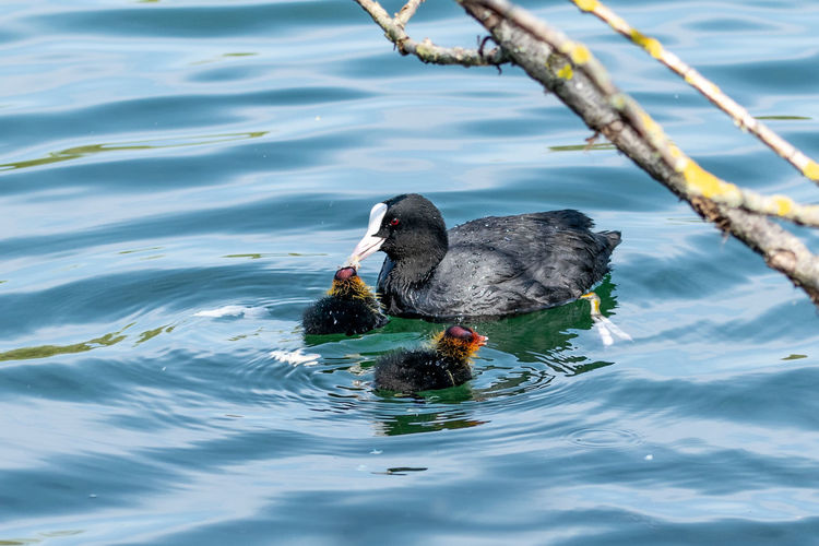 Moorhen ducklings in spring with water reflection