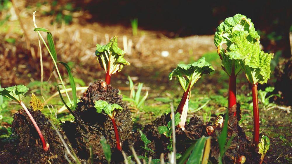 ' Spring arrival ' Rhubarb Plant Summer Fresh Produce Growing Plants -- B