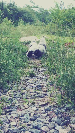 Cottage Train Tracks Dogs Summer