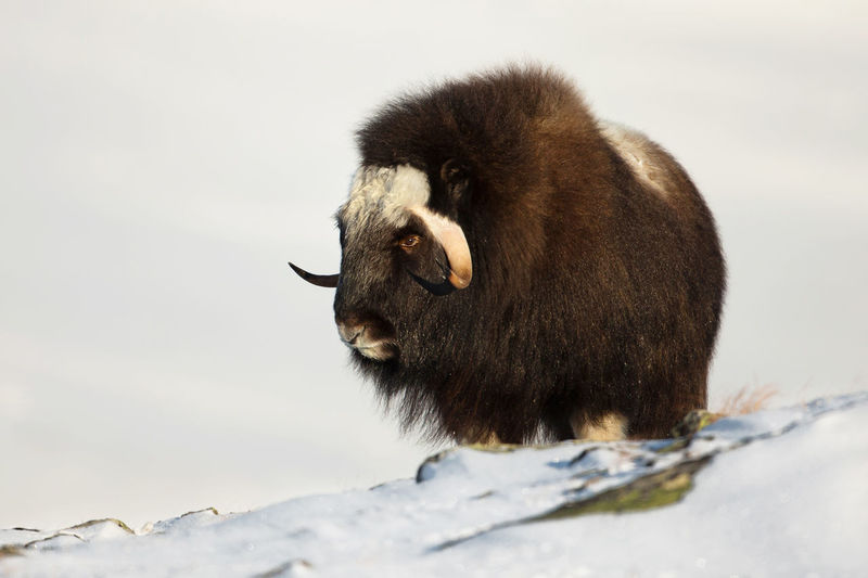 Musk ox on snowcapped mountain
