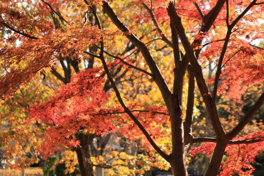 Tree Autumn Plant Beauty In Nature Orange Color Outdoors Fall Leaves Japan Kanagawa