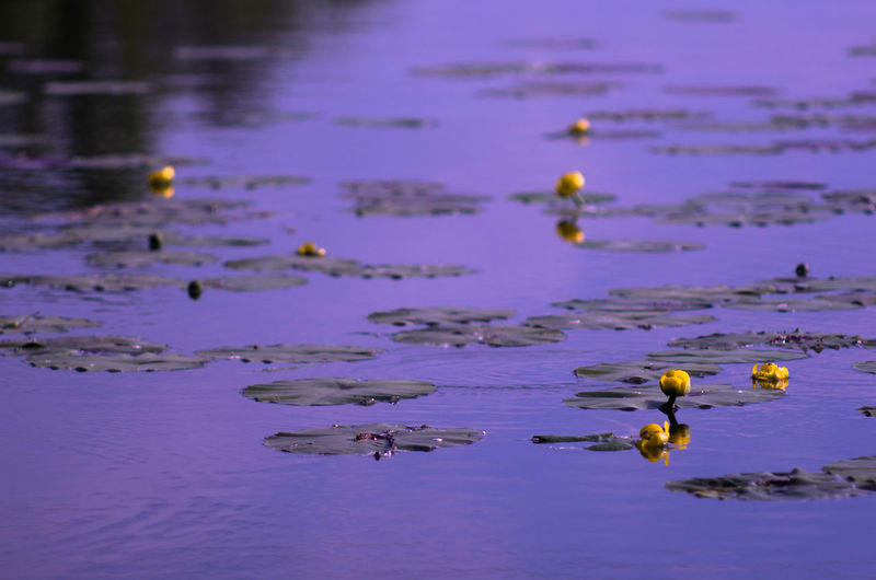 Beauty In Nature Day Floating On Water Flower Lake Nature No People Outdoors Reflection Water Water Lily