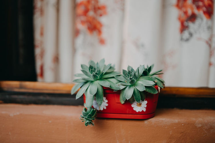 Close-up Day Floral Pattern Flower Flower Pot Flowering Plant Focus On Foreground Freshness Green Color Herb Indoors  Leaf Nature No People Plant Plant Part Potted Plant Red Still Life Table Wood - Material