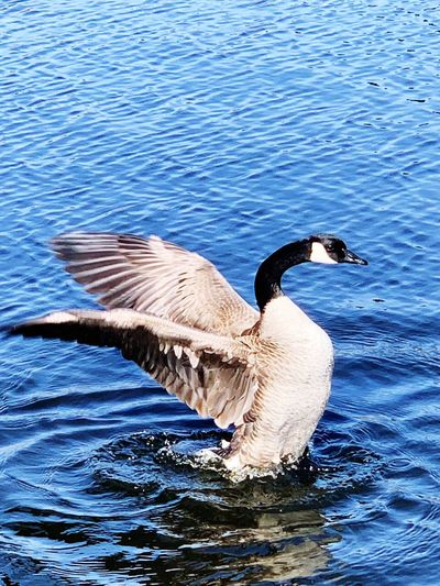 Canada Goose Animals In The Wild Water Animal Themes Animal Wildlife Bird Animal Vertebrate Lake One Animal Beauty In Nature Spread Wings Rippled Freshwater Bird Flying