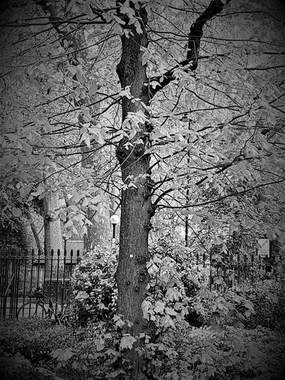 Bike and Tree in London UK 2017 2017 2017 Year 2017 Photo Black & White Black & White Photography London 2017 Bare Tree Beauty In Nature Black & White Collection Black And White Black And White Collection  Black And White Photography Black&white Blackandwhite Blackandwhite Photography Blackandwhitephoto Blackandwhitephotography Branch Day Growth Nature No People Outdoors Tree Tree Trunk