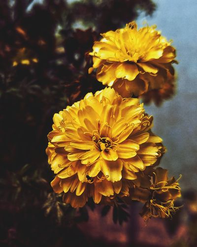 LGV30 Lgv30+ LGV30photography Flower Head Flower Yellow Petal Plant
