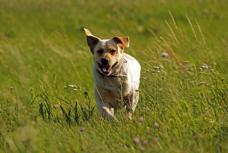 Dog looking away while running on grass