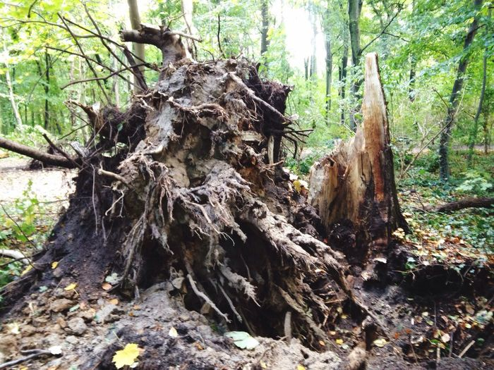 After Storm Xavier Tree Trunk Tree Forest Nature Day Outdoors No People Root WoodLand After The Storm Xavier Storm Germany Storm Damage Uprooted Disrooted Fallen Tree Dead Tree