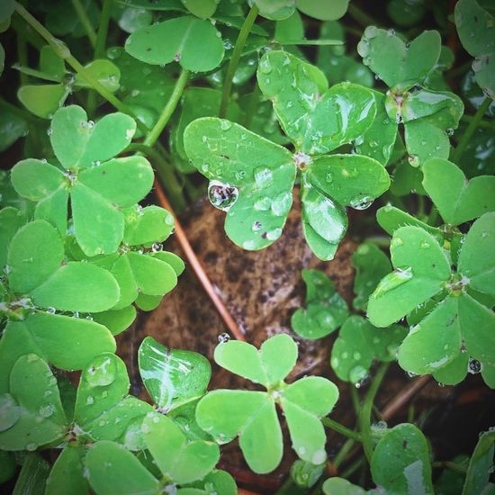 """""""Lucky Dew"""" Four leaf clovers sprinkled in a morning dew. Dew Drops Dew Four Leaf Clover Green Color Green Leaf Plant Part Green Color Growth Plant Nature No People Close-up Clover Beauty In Nature Leaves"""
