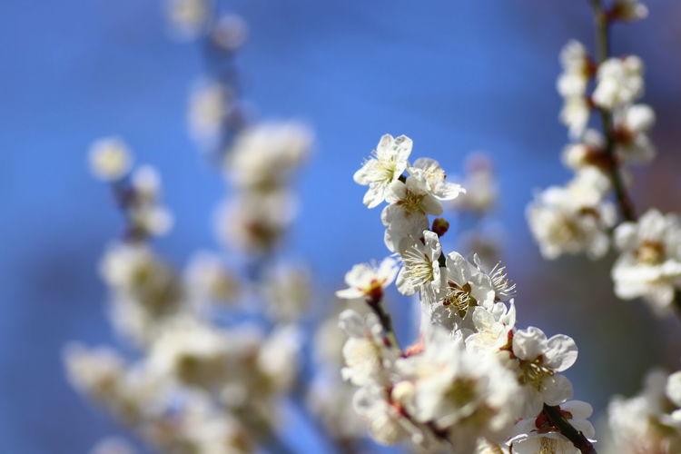 春!春😆咲いた!梅😂 貧乏マクロ Nature Photography Nature Macro Photography Macro Flower Flower Head Springtime Branch Blue Blossom Close-up Sky