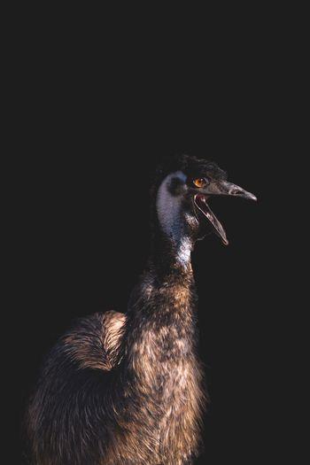 Emu against black background