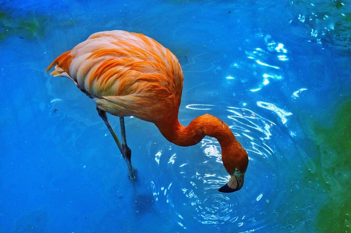 Flamingo series Water Blue Animal Themes Swimming One Animal Nature Animal Wildlife Sea Life Beauty In Nature No People Close-up Day Flamingo At The Zoo Flamingos Flamingo Birds_collection Bird Photography Birds Zoo Exploring Style