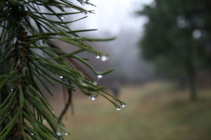 Beauty In Nature Branch Close-up Day Drop Focus On Foreground Fragility Freshness Growth Leaf Nature Needle - Plant Part No People Outdoors Plant Rain RainDrop Rainy Season Sky Tree Water Weather Wet
